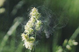 alergija i CBD